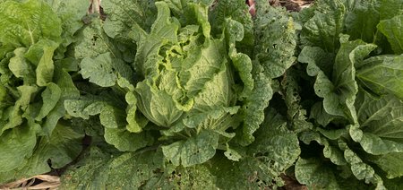 Chinese cabbage and onion in growth at field
