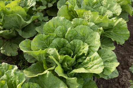 chinese cabbage in growth at field