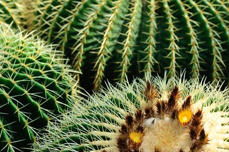Cactus. Close up of green succulent plant with sharp spikes