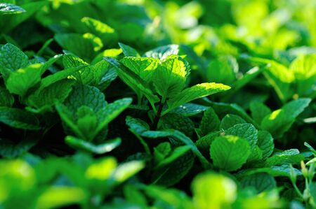 Mint plant growing at vegetable garden