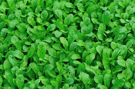 Green fresh leafy vegetables in growth at garden