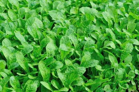 Green fresh leafy vegetables in growth at garden