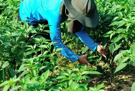 Farmer picking green pepper at vegetable garden Imagens