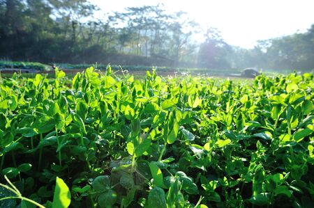 Green pea plants growing at sunrise field