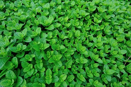 Dense mint plant growing at vegetable garden