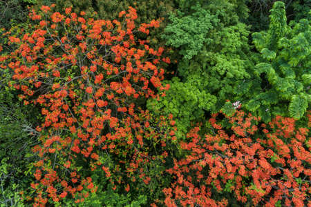 Beautiful red royal poinciana or flamboyant flower (Delonix regia) in summer