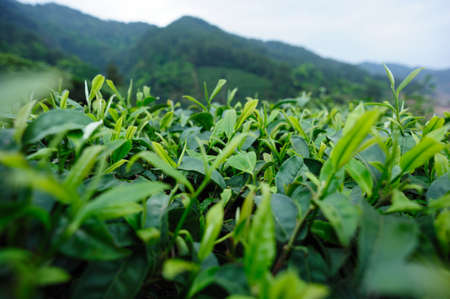 Green tea trees garden in spring Banco de Imagens