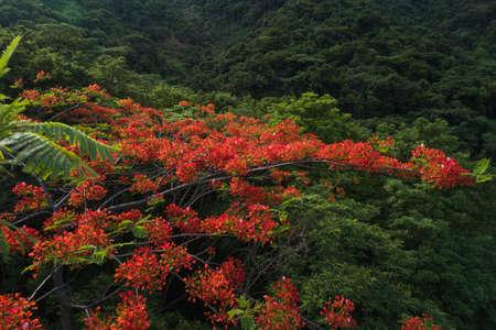 Beautiful red royal poinciana or flamboyant flower (Delonix regia) in sunrise Banco de Imagens