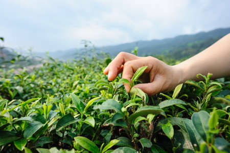 Hand picking tea leaves from tree in spring Banco de Imagens