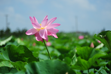 purity: Lotus