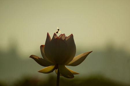 back lighting: Close up to a lotus and bees with back lighting  Stock Photo