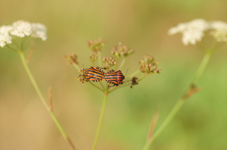 chitin: Mating bugs with red and black stripes.
