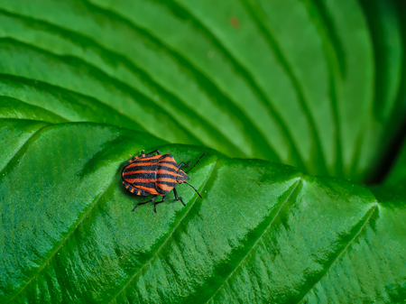 chitin: Beetle with black and red stripes on green leaf.