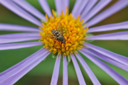 yellow stamens: Fly on flower with purple petals and yellow stamens.