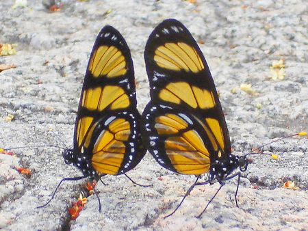 the butterflies couple Stock Photo - 1313071