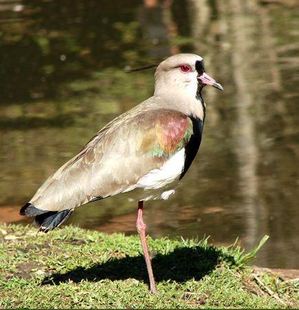 the bird called quero quero                             Stock Photo