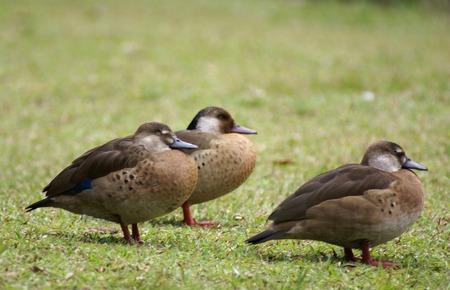 Grupa dzikich kaczek  Zdjęcie Seryjne - 1439248