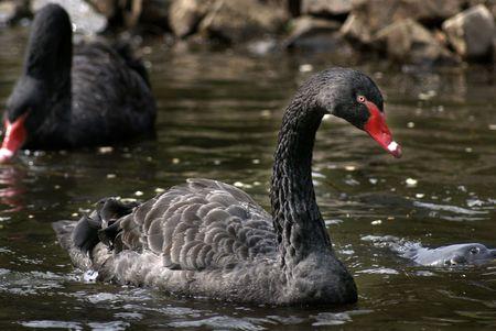 black swans on water