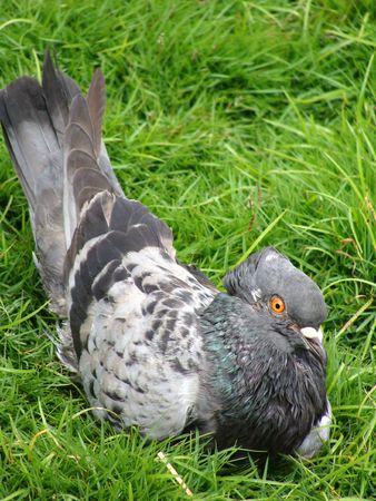 pigeon bird                             Stock Photo
