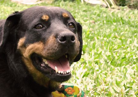 rotweiler:   happy dog                              Stock Photo