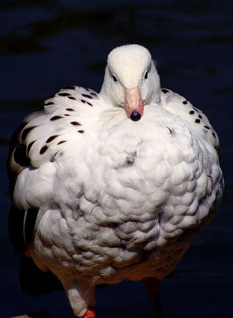 australian goose                   Stock Photo