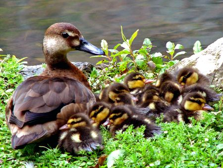 wild mother duck with her chicks                               Stock Photo