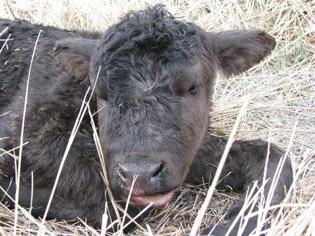 calf 版權商用圖片