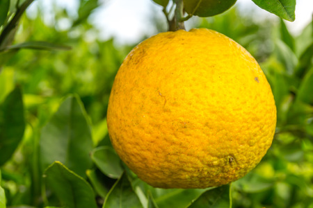 Lone Orange in an Orange Tree