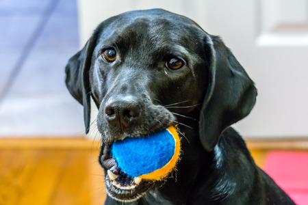 Black Labrador Retriever avec le ballon dans la bouche prêt à jouer
