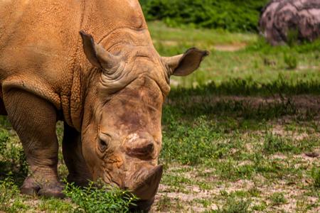 White Rhino Eating Alone