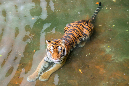 Tigers Walking and Laying in the Water