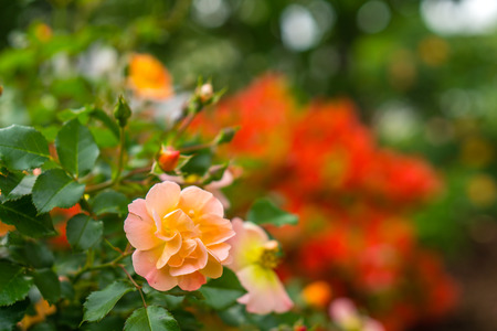 Roses Blooming in the Spring Time Stok Fotoğraf