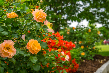 Roses Blooming in the Spring Time Stock Photo