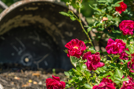 Red Roses Blooming in the Spring Time Stok Fotoğraf