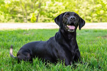 Black Labrador Posing for the Camera Stok Fotoğraf