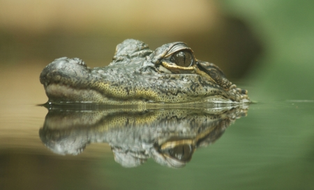 Baby crocodile peeking out the water, with reflection photo