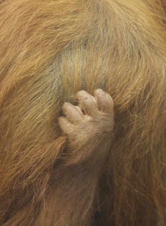 clutching: Baby orangutang clutching mothers fur