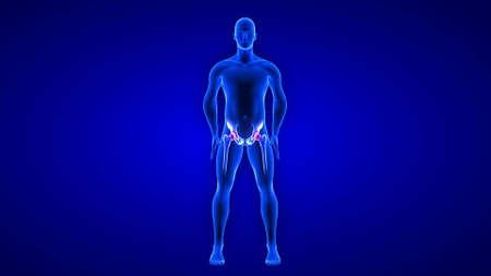 Hip Pain illustration. Blue Human Anatomy Body 3D Scan render on blue background