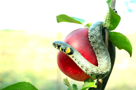 Snake on a red apple