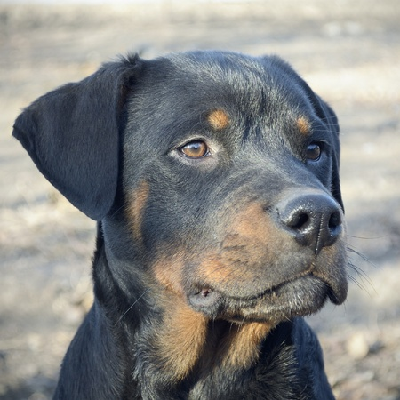 quizzical: Close up photo of rottweiler