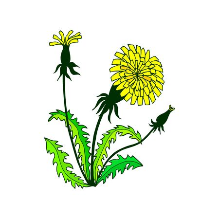 bush of dandelions flowers, leaves. eps10 vector illustration. hand drawing