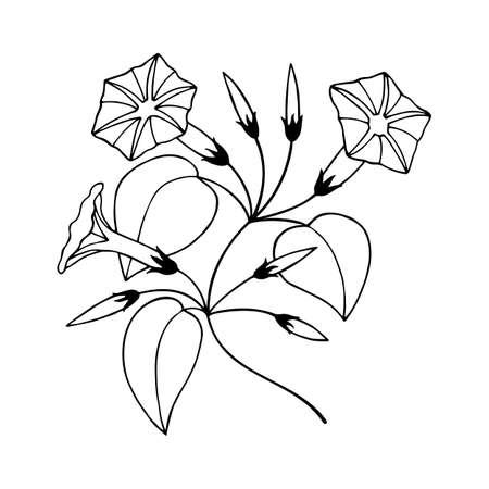 flower, buds of bindweed. hand drawing Ilustração Vetorial