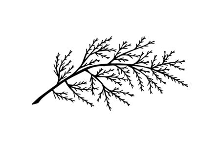 thuja tree branch. on a white background isolate.