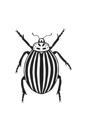 Colorado beetle   isolated on a white background.