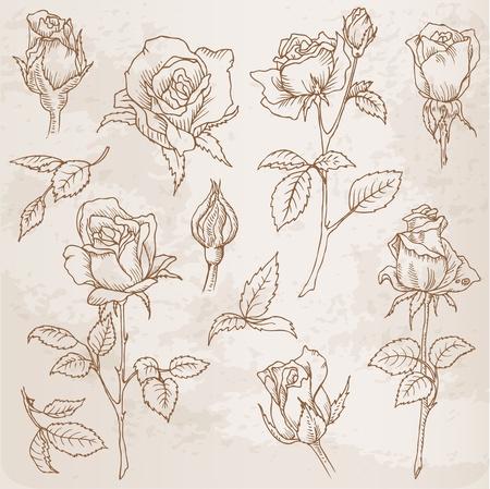 Conjunto de flores: rosas detalladas dibujados a mano en el vector