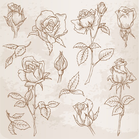 rose bud: Flower Set: Detailed Hand Drawn Roses in vector Illustration