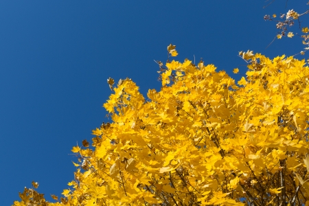 Branch of yellow maple leaves on blue sky background Stock Photo