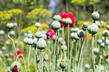 Deflorated green poppy head in garden background Stock fotó