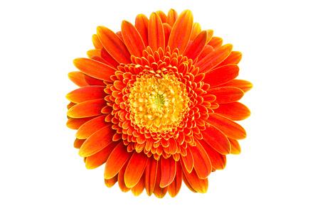 gerbera daisy: Orange gerbera daisy flower isolated on white Stock Photo