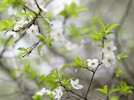 white blossom: White Blossom in Spring